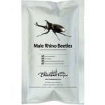 BEETLES MALE RHINO DEHYDRATED