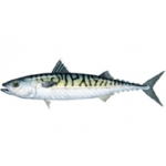 BOSTON MACKEREL (SEAFREEZE) U.S.A. WHOLE WILD IQF