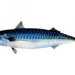 MACKEREL(PACIFIC) AM IQF(